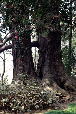太郎杉 太郎杉とツバキ 根本にはふちどりが美しいクマザサが一面に   太郎杉と... 速報偕楽園